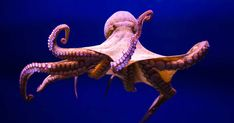 Octopuses Are 'the Closest We Will Come to Meeting an Intelligent Alien'