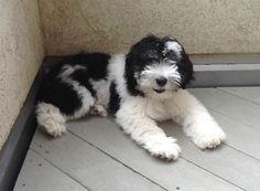 My PON puppy Simon