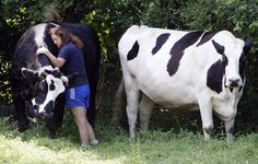 Two 17-Year-Old Cows Loving Life at Their Sanctuary Forever Homes (PHOTOS)