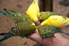 Budgerigars (LOVEBIRDS)