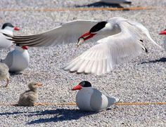 A Caspian tern brings a fish for its chick at Malheur Refuge in Oregon