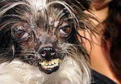 21-Jun-2014 13:59 - 2-JARIGE PEANUT GEKROOND TOT 'LELIJKSTE HOND TER WERELD'. Het 2-jarige hondje Peanut is dankzij zijn wilde haren, uitpuilende ogen en vooruitstekend gebit gekroond tot lelijkste hond ter wereld.