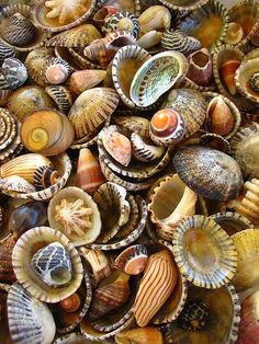 conchas de mar...