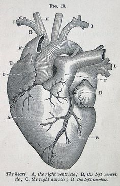 Anatomy of a human heart illustration