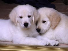 I took this picture of my friends White Light Golden Retriever puppies lying in the doorway. photo by Liz Dalia
