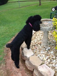 The Poodles Rock!!! always good for a drink of water does your fur friend have a favorite watering hole???