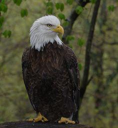 Bald Eagle_DSC9721 by DansPhotoArt, via Flickr