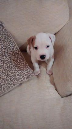 Star my American bulldog puppy