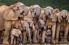 Elephant Pictures, Elephants Photos, Save The Elephants, Animal Pictures, Elephant Images, Amor Animal, Mundo Animal, Elephant Photography, Animal Photography