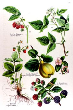img/gravures anciennes de fleurs/gravure couleur ancienne de fleur - Cydonia vulgaris; Rubus fruticosus; Rubus idaeus; Fragaria vesca.jpg