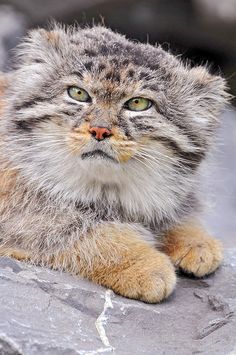 Male Pallas's cat lying 2 by Tambako the Jaguar, via Flickr