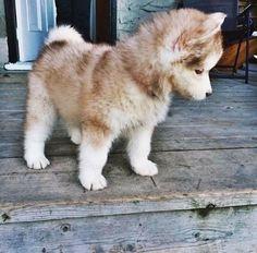 Cute little brown pomsky puppy