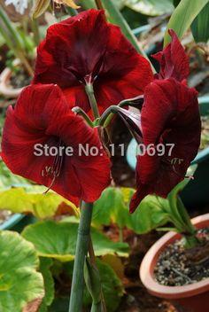 Home&garden wine red big 2bulbs flower bulbs amaryllis seeds sementes de flores amaryllis bulbs casa a jardim garden gift