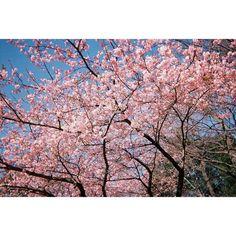 film . この写真は写ルンですです . いい感じです 桜のピンクと空の水色 いい感じです . フィルムカメラ欲しいです . 撮ってすぐ見れないことも わくわくして良いです もーう楽しいなあ . 井の頭公園は2月の桜がきれいでした . #東京#吉祥寺#TOKYO#井の頭公園#三鷹 #旅行#旅#trip#travel#お散歩#公園 #桜#sakura#ピンク#水色#空##春 #写ルンです#インスタントカメラ#film #フィルム#写真#写真部#カメラ#カメラ女子 . 今日は雪がすごい by mana3610
