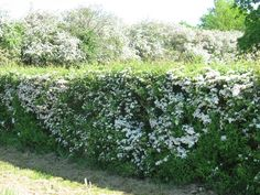 Hawthorn hedges cover the UK in spring. A joyful sight. Hawthorne Hedge, Hedges, Garden Spaces, Garden Plants, Tuscan Garden, Garden Fencing, Fence, Natural Garden, Back Gardens