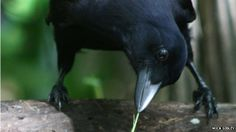 """Tool-making crows have the ability to """"reason"""", say scientists.  In an experiment, researchers found that crows were more likely to forage when they could attribute changes in their environment to a human presence.  This behaviour may suggest """"complex cognition"""", according to a study published in the Proceedings of the National Academy of Sciences."""