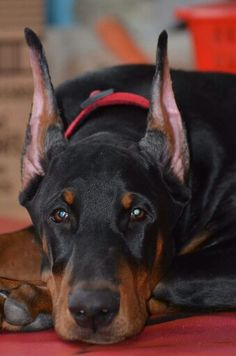 Doberman doesn't that face just exude unconditional love and protection?