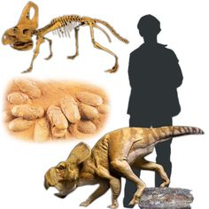 Protoceratops is a genus of sheep-sized herbivorous ceratopsian dinosaur, from the Upper Cretaceous Period of what is now Mongolia. It was a member of the Protoceratopsidae, a group of early horned dinosaurs.