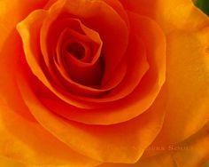 Items similar to Orange Rose Photo -Rose Photography -Flower Photography -Orange Cottage Chic -Gift for Her -Birthday Gift -Colorado Fine Art Photography on Etsy Orange Roses, Orange And Purple, Orange Color, Orange Wall Art, Orange Walls, Orange You Glad, Rose Decor, Rose Photos, Rose Art