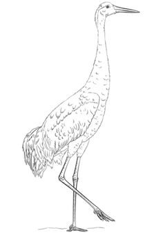 Sandhill Crane coloring page from Cranes category. Select from 20946 printable crafts of cartoons, nature, animals, Bible and many more.