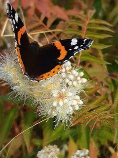 Amiraali Moth, Insects