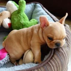 Fawn Frenchie! I want one!!