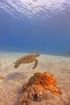 Sea Turtle - Beautiful Shot! Loved seeing one of these swimming alongside while I snorkeled!