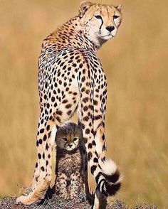 Guepardo uploaded by María José on We Heart It Big Cats, Cats And Kittens, Cute Cats, Cats Meowing, Siamese Cats, Nature Animals, Animals And Pets, Wildlife Nature, Wild Animals