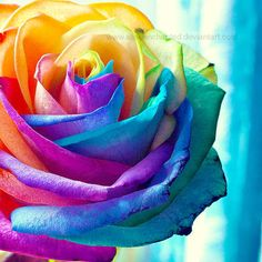 The rainbow rose is a rose which has had its petals artificially coloured. Beautiful Rose Flowers, Exotic Flowers, Diy Flowers, Hippie Flowers, Rainbow Flowers, Rainbow Art, Types Of Roses, Rainbow Aesthetic, Rainbow Wallpaper