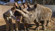 Næsehornet Nola er blevet aflivet i den zoologiske have i San Diego, Californien. Det gamle næsehorn, der blev 41 år, var en af de sidste af den stærkt udrydningstruede race nordlige hvide næsehorn, siger Zoo i San Diego. Der er nu kun tre kendte eksemplarer af racen tilbage. (Sensationel nyhed)
