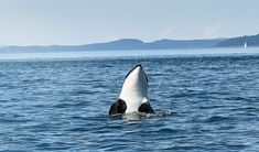 """San Juan Islands, WA. When to Go: May–September  Whales You'll See: Orcas, Humpbacks, Minkes, Gray Whales  One of the best places in the world to view orcas (a.k.a. killer whales) are the San Juan Islands, clustered off the coast of Washington. Although orcas are seen in the area year-round, three main pods, called the """"Southern Residents,"""" are more frequently glimpsed during the spring through fall months. The San Juan Islands are part of the Whale Trail, a string of whale-plentiful sites…"""
