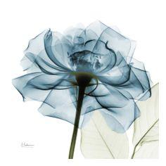 Teal Rose Print by Albert Koetsier at Art.com