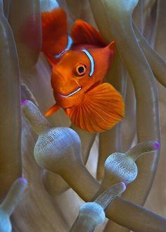 trynottodrown:  anemonefish | Adriana Basques