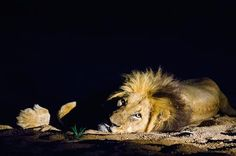 LION IN THE NIGHT Photo by Enrique del Campo — National Geographic Your Shot