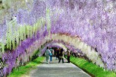 "Fukuoka's ""Wisteria Tunnel"" delights visitors with pretty pastel petals | RocketNews24"