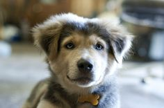 German Shepherd & Husky mix - a Shepsky!