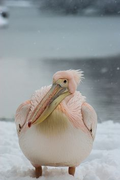 Pink Pelican looking bemused deep in the february snow .  St james park, nearest tube is st james park