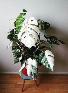 Variegated split leaf philodendron -Amazing leaf of Monstera borsigiana variegata! Best Indoor Plants, Cool Plants, Outdoor Plants, Green Plants, Tropical Plants, Cactus Plants, Indoor Cactus, Cactus Art, Potted Plants