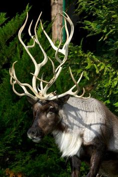 Reindeer with twisting antlers