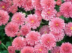 Причины отказа от цветения: почему не цветут хризантемы в саду?