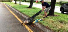 'Gator Boys' star captures injured alligator on Florida road