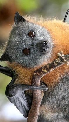 The Grey-headed Flying-fox (Pteropus poliocephalus) is an endemic mammal and the largest Australian bat. Amazing Animals, Animals Beautiful, Animals And Pets, Cute Animals, Exotic Animals, Bat Flying, Wild Life, Baby Bats, Fruit Bat