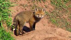 Watch: Baby fox walks up to people asking for help | MNN - Mother Nature Network