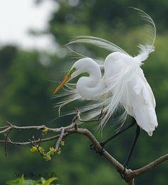 The elegance of the Egret