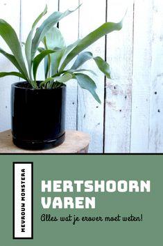 ik deze blog lees je alles wat je moet weten over de Hertshoornvaren! #kamerplanten #planten #planten #hertshoornvaren #platycerium #tipsenweetjes #urbanjungle #indoorgreen #groeninhuis Platycerium, Staghorn Fern, Plants, Urban, Natural, Blog, Ideas, Everything, Deer Horns