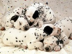 cute Dalmatian puppies :)