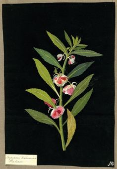 Impatiens Balsamina, from an album (Vol.X, 39); Balsam. 1782 Collage of coloured papers, with bodycolour and watercolour, on black ink background