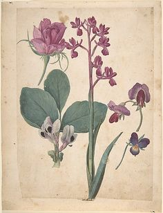 'A Sheet of Studies of Flowers: A Rose, A Heartsease, a Sweet Pea, a Garden Pea, and a Lax-flowered Orchid century). Watercolour and gouache by Jacques Le Moyne de Morgues ( circa Image and text courtesy The Metropolitan Museum of Art Botanical Drawings, Botanical Prints, Georgia O'keeffe, Renaissance, Fine Art Prints, Canvas Prints, Colorful Roses, All Nature, Poster Size Prints