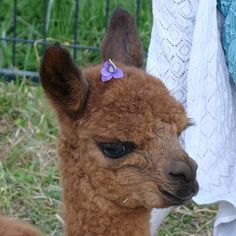 Looks just like our new baby Alpaca, Cha Cha