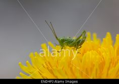 #Grasshopper On #Dandelion #Closeup @alamy #alamy #macro #insect #flowers #flowerpower #spring #season #nature #outdoor #color #focus #stock #photo #portfolio #download #hires #royaltyfree